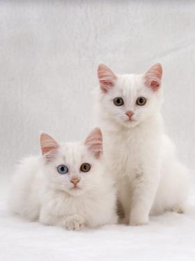 Domestic Cat, Two White Kittens, Persian-Cross Sisters, One Amber and One Odd-Eyed by Jane Burton