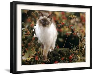 Domestic Cat, Young Birman Cat Among Cotoneaster Berries and Ground Elder Seedheads by Jane Burton