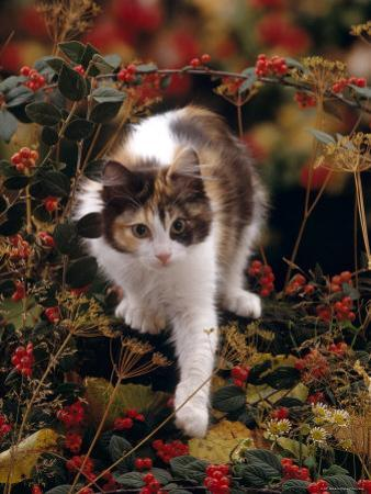 Domestic Cat, Young Tortoiseshell-And-White Among Cotoneaster Berries and Ground Elder Seedheads
