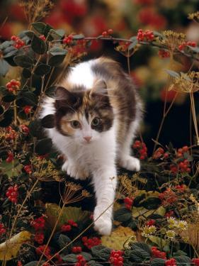 Domestic Cat, Young Tortoiseshell-And-White Among Cotoneaster Berries and Ground Elder Seedheads by Jane Burton