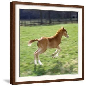 Domestic Horse, Chestnut British Show Pony Colt Foal Leaping Away, UK by Jane Burton