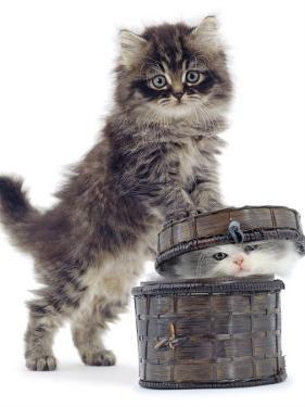 Domestic Kitten (Felis Catus) on Basket with Another Kitten Inside It by Jane Burton