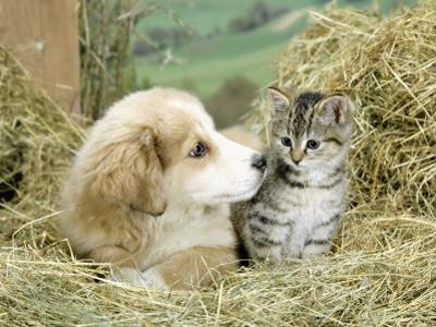 Domestic Kitten (Felis Catus) with Puppy (Canis Familiaris) in Hay