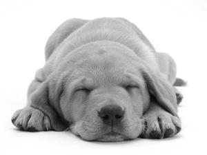 Domestic Labrador Puppy (Canis Familiaris) Sleeping by Jane Burton