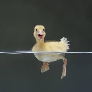 Duckling Swimming on Water Surface, UK by Jane Burton
