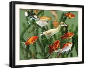 Duckling Swims Underwater Among Goldfish by Jane Burton