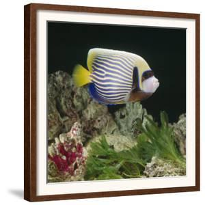 Emperor Angelfish Captive, from Indo-Pacific by Jane Burton