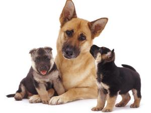 German Shepherd Dog Alsatian Bitch Lying with Her Two Puppies by Jane Burton