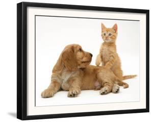 Ginger Kitten with Golden Cocker Spaniel Puppy by Jane Burton