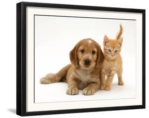 Golden Cocker Spaniel Puppy with British Shorthair Red Tabby Kitten by Jane Burton