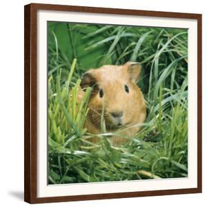 Golden Guinea Pig in Long Grass, UK by Jane Burton