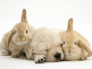 Golden Retriever Puppy Sleeping Between Two Young Sandy Lop Rabbits by Jane Burton