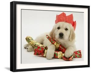 Golden Retriever Puppy with Christmas Crackers Wearing Paper Hat by Jane Burton