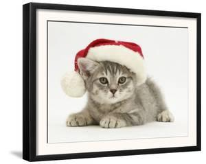 Grey Spice Kitten Wearing a Father Christmas Hat by Jane Burton