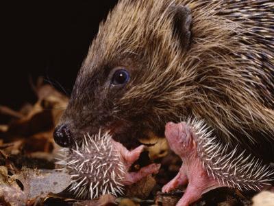 Hedgehog Carrying Newborn to New Nest (Erinaceus Europaeus), UK by Jane Burton