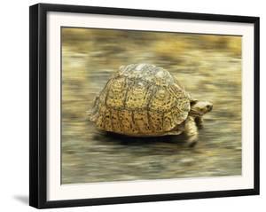 Leopard Tortoise (Geochelone Pardalis) Running by Jane Burton