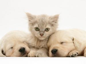 Lilac Tortoiseshell Kitten Between Two Sleeping Golden Retriever Puppies by Jane Burton