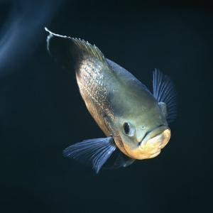 Oscar Velvet Cichlid Captive, from South America by Jane Burton