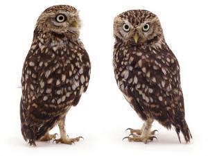 Pair of Little Owls by Jane Burton