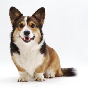 Pembrokeshire Welsh Corgi Undocked Dog, 9 Months Old, Sitting by Jane Burton