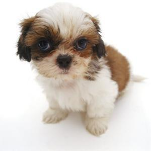 Shih Tzu Pup, 7 Weeks Old, Sitting Down by Jane Burton