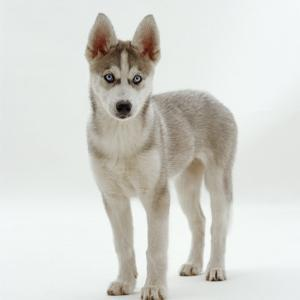 Siberian Husky Bitch, 9 Weeks Old, Standing Portrait by Jane Burton