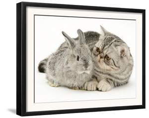 Silver Exotic Kitten Looking Inquisitively at Silver Baby Rabbit by Jane Burton