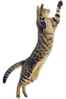 Silver Tabby Domestic Cat (Felis Catus) Leaping, UK by Jane Burton