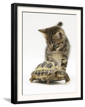 Silver Tabby Kitten Looking at a Hermann's Tortoise Walking by Jane Burton