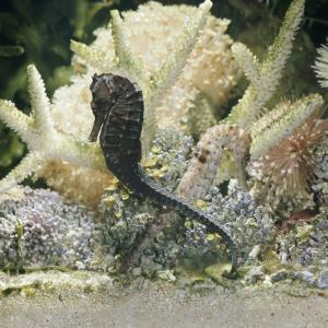 Spotted Seahorse Dark and Light Colour Phases, on Coral Reef, from Indo-Pacific by Jane Burton