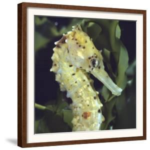 Spotted Seahorse Light Colour Phase, Head Portrait, from Indo-Pacific by Jane Burton
