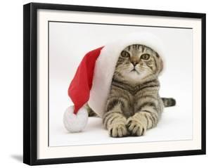 Tabby Cat Wearing a Father Christmas Hat by Jane Burton