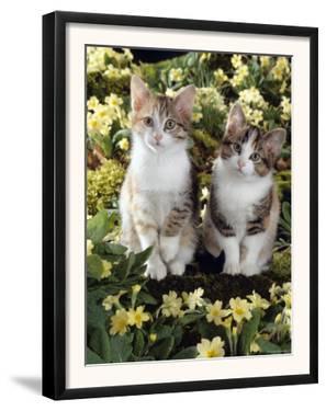Tabby-Tortoiseshell-And White Kittens, 11-Week Sisters, Among Pink and Yellow Primroses by Jane Burton