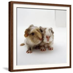Two Baby Crested Guinea Pigs, One-Day by Jane Burton