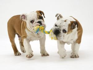 Two Bulldog Pups Carrying a Ragger by Jane Burton