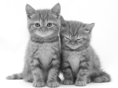 Two Ginger Domestic Kittens (Felis Catus) by Jane Burton