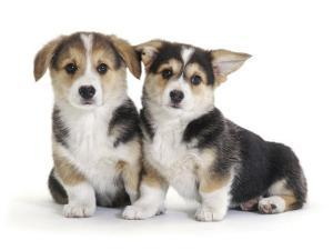 Two Pembrokeshire Welsh Corgi Pups, 9 Weeks Old, Ears Starting to Prick by Jane Burton