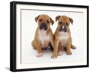 Two Red Staffordshire Bull Terrier Puppies, 6 Weeks Old, Sitting Together by Jane Burton