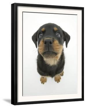 Two Rottweiler Pup, 8 Weeks Old, Sitting Down and Looking Up by Jane Burton