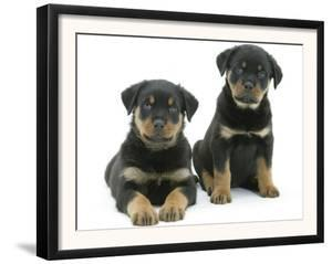 Two Rottweiler Pups, 8 Weeks Old by Jane Burton