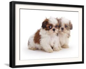 Two Shih Tzu Pups Sitting Together, 7 Weeks Old by Jane Burton