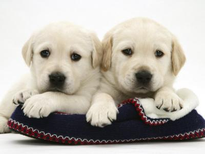 Two Yellow Goldidor Retriever Pups Lying on a Slipper by Jane Burton
