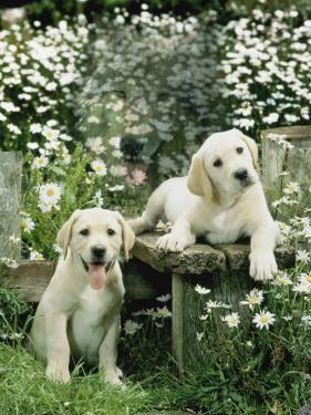 Two Young Labradors in a Daisy Field, UK by Jane Burton