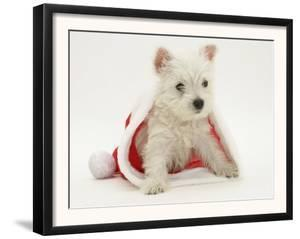 West Highland White Terrier Puppy in a Father Christmas Hat by Jane Burton