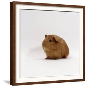 Young Red Smooth-Haired Male Guinea Pig by Jane Burton