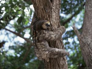 A Sloth Bear in a Tree, Venezuela, South America by Jane Sweeney