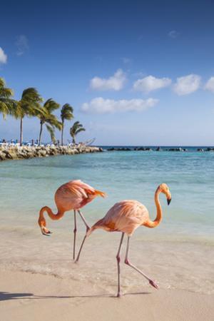 Caribbean, Netherland Antilles, Aruba, Renaissance Island, Flamingo beach by Jane Sweeney