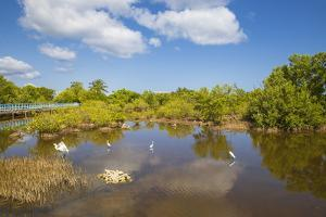 Egret in Mangroves, Playa Pesquero, Holguin Province, Cuba, West Indies, Caribbean, Central America by Jane Sweeney