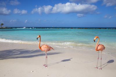 Flamingos on Flamingo Beach, Renaissance Island, Oranjestad, Aruba, Lesser Antilles by Jane Sweeney