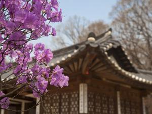 Korea, Seoul, Changdeokgung Palace, Cherry Blossom at Changgyeongggung Palace by Jane Sweeney